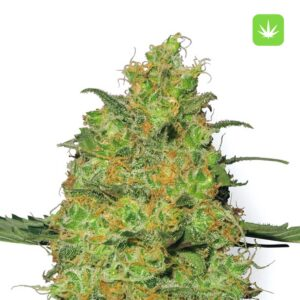 buy Master-Kush-Feminized