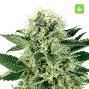 Buy Northern LightsFeminised Seeds