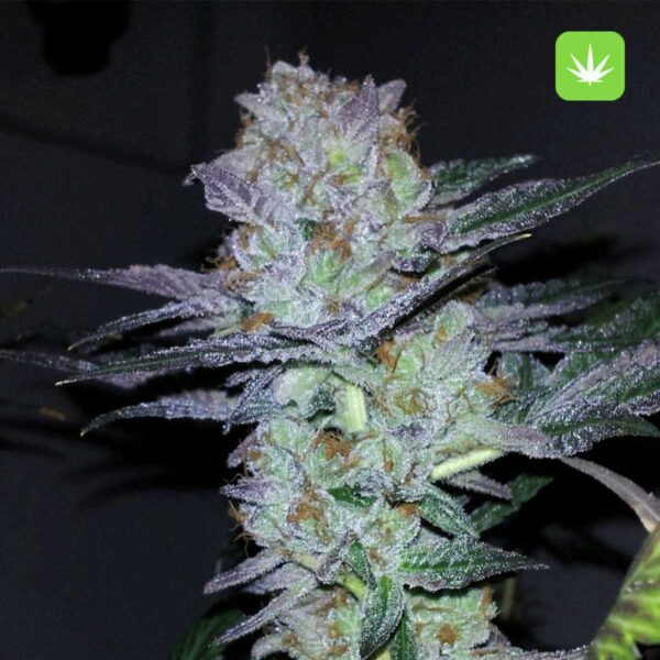 Purple-Bubba-Kush-2-Cannabis-Avenue
