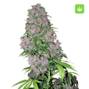 Buy Purple Bud Feminize