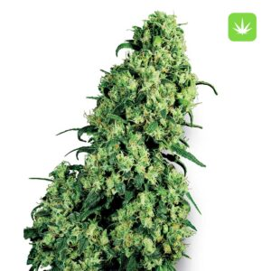 Buy Skunk-1-Feminized-Seeds