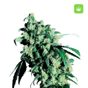 Buy Super-Skunk-Seeds online