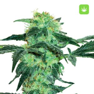 Buy White-Ice-Feminized-Seeds online