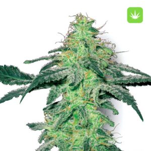 buy white-skunk-feminised seeds online